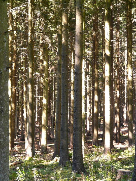 Forest, Trees, Firs, Strains, Light, Shadow, Forestry