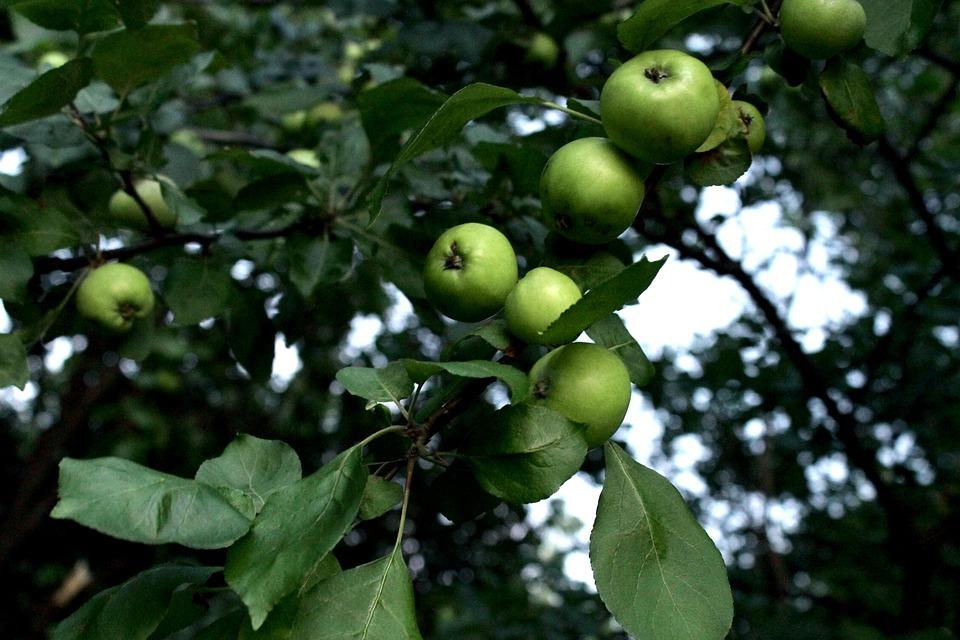 Nature, Flora, Trees, Fruit, Apple, Apples, Branch