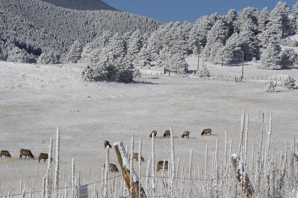 Hoarfrost, Elk Herd, Colorado, Winter, Landscape, Trees