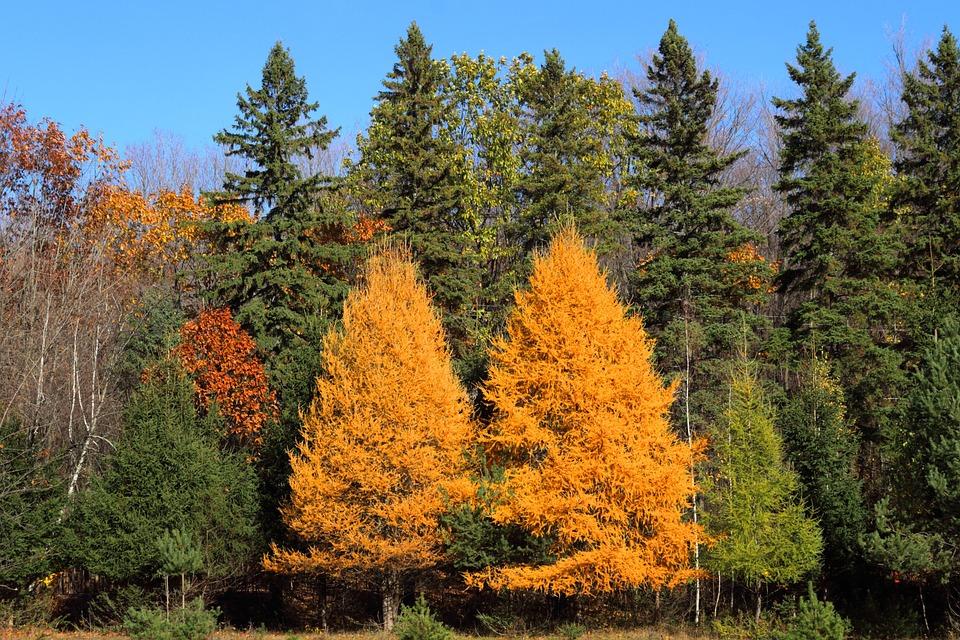 Larch, Fall, Leaf, Nature, Autumn, Trees, Landscape
