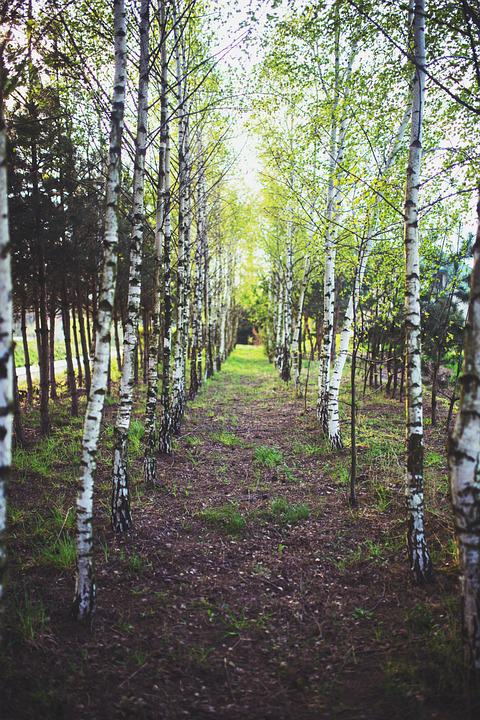 Birch, Forest, Wood, Young, Tree, Trees, Tiny, Light