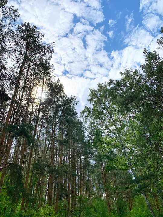 Forest, Trees, Woods, Nature, Sky, Clouds, Calm