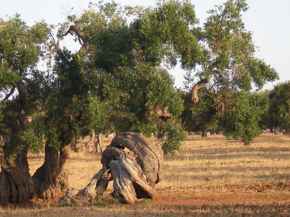 Olive Tree, Trees, Secular