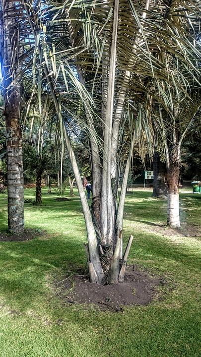 Palm Wax, Trees, Botanical Garden