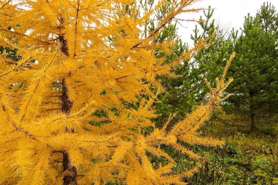 Autumn, Larch, Pine, Needles, Needle, Landscape, Trees