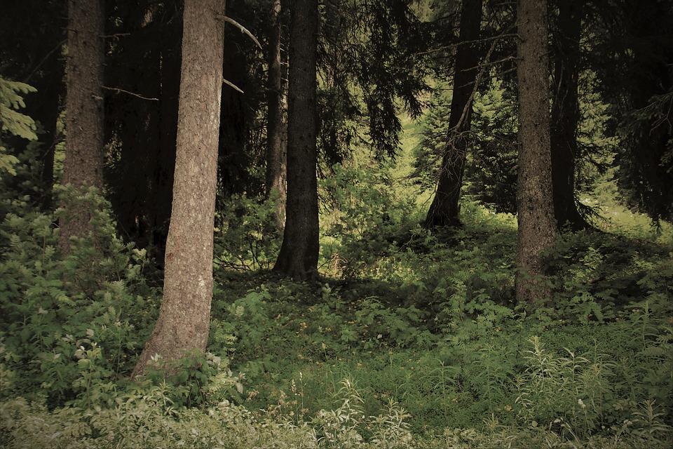 Conifers, Trees, Pine, Gęstwina, Mystery, Dream, Pines