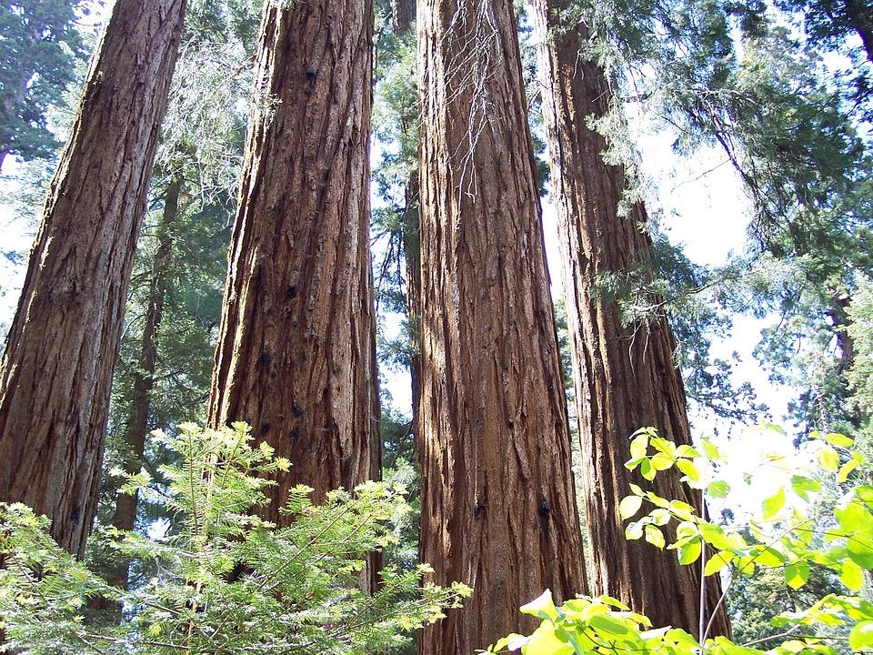 Sequoia, Grants Grove, Mammoth Trees, Trees, Redwoods