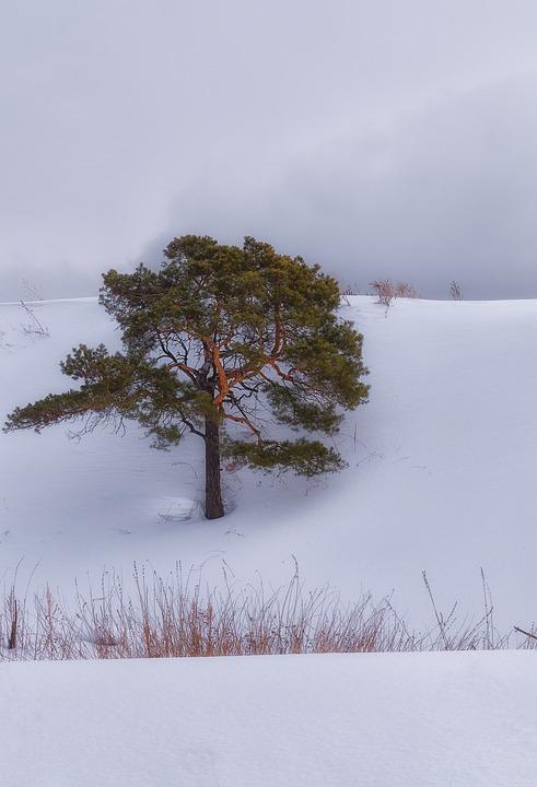 Snow, Pine, Cloud, Winter, Trees, Nature, Landscape