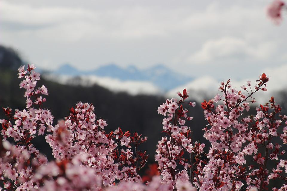 Flowers, Spring, Trees, Pink, Flowering Tree, Mountain