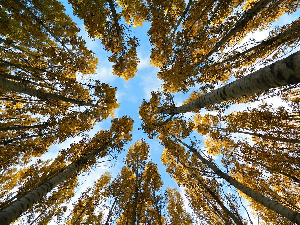 Autumn, Sky, Trees, Tall, Birch, Look Up, Forest