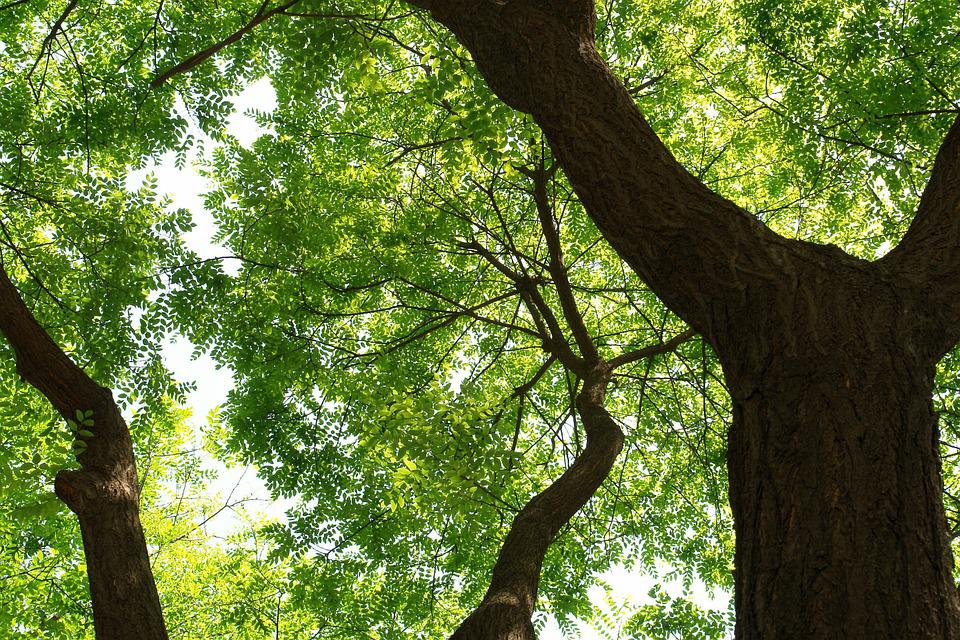 Trees, Big Trees, Sunshine, The Leaves, Trunk, Branch