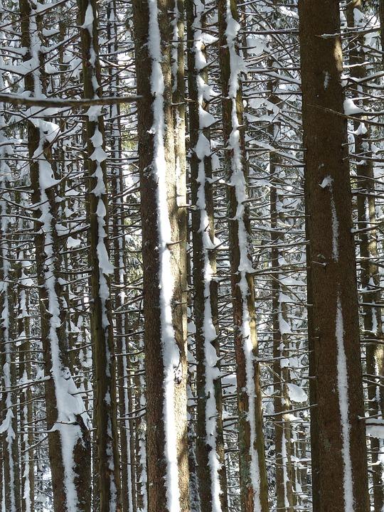 Fir Tree, Firs, Trees, Snowy, Winter, Snow, Wintry
