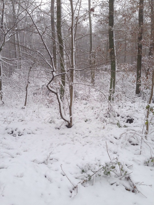 Winter, Forest, Snow, Trees, Nature, Wintry, Snowy