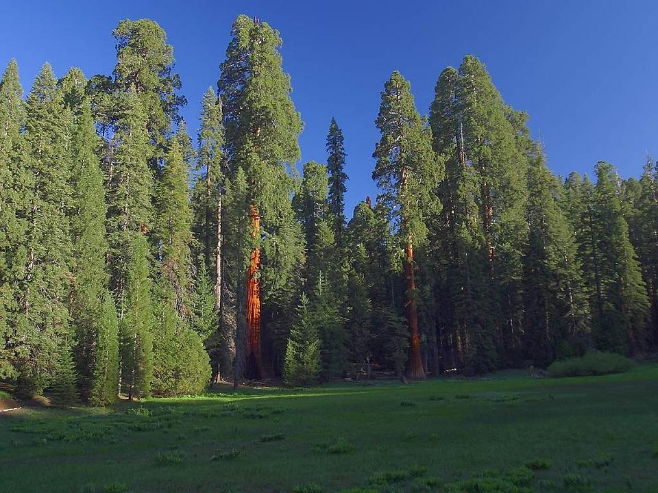 Sequoia Trees, Sequoia, California, Usa, Red, Tribe