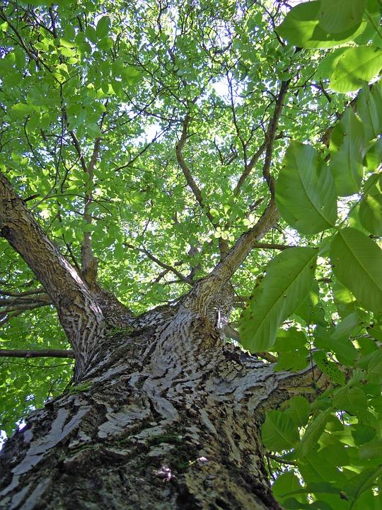 Tree, Walnut Tree, Leaves, Leaf, Green, Tribe, Bark