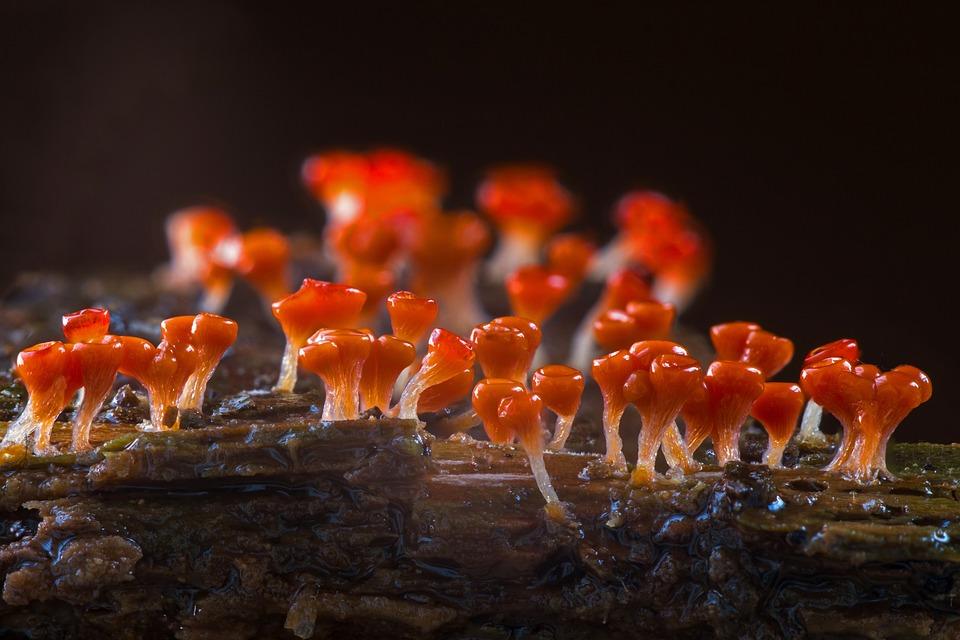 Slime Mold, Trichia Decipiens, Single Celled Organisms