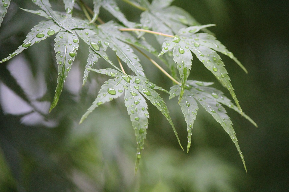 Rain Drip, Trickle, After, Autumn Leaves, Leaves