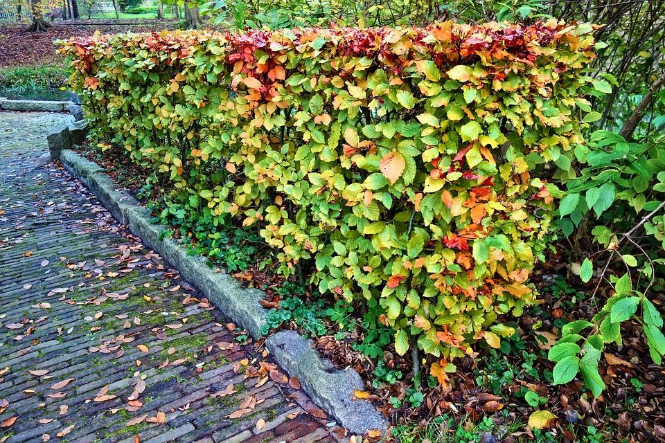 Hedge, Trimmed, Trimmed Hedge, Autumn Colors, Park