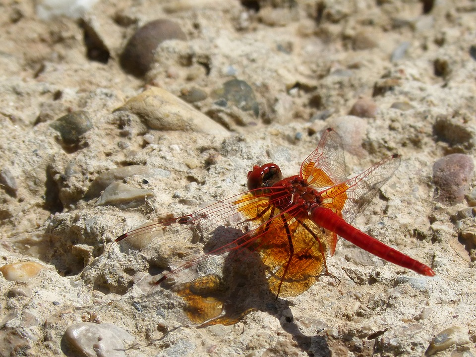Dragonfly, Red Dragonfly, Trithemis Kirbyi, Pipe Gilded