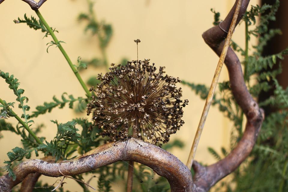 Decoration, Trockenblume, Ornamental Onion
