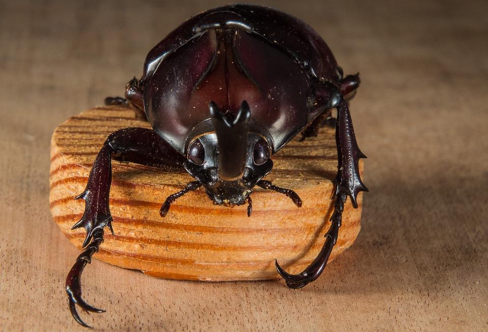 Tropical Beetles, Rhinoceros Beetle, Riesenkaefer