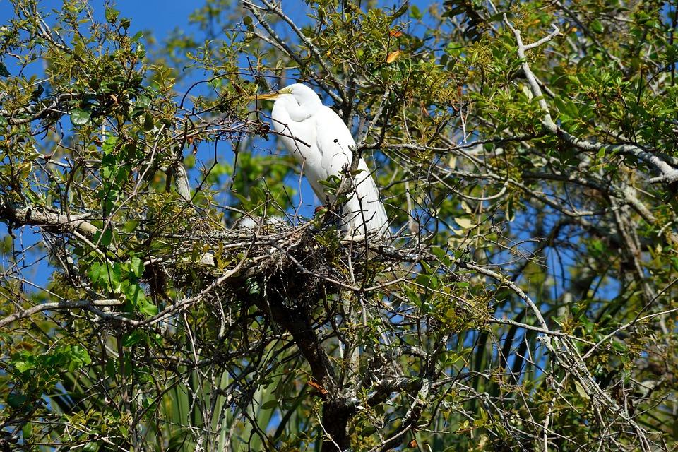 White Heron, Wildlife, Egret, Nesting, Tropical Bird