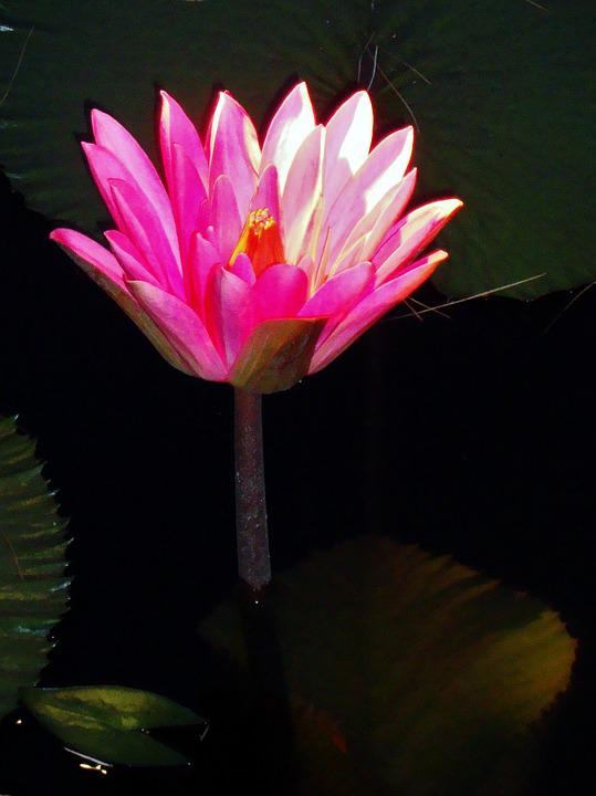Flower, Flora, Nature, Petal, Blooming, Lily, Tropical