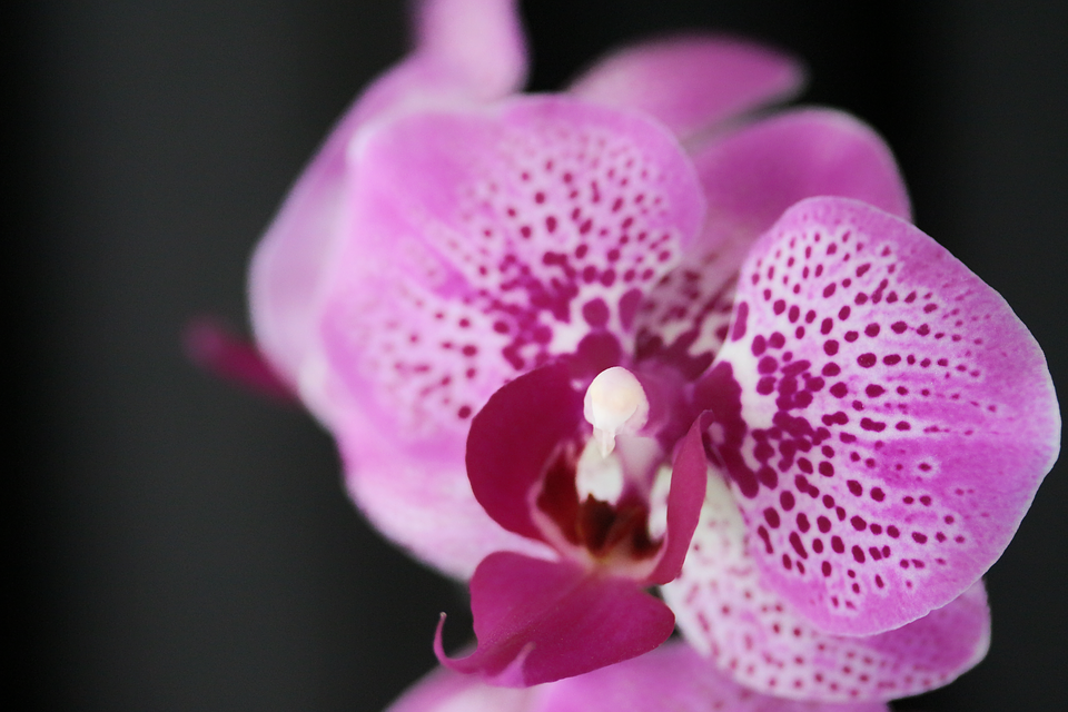 Orchid, Tropical, Exotic, Botanical, Flower, Flowers