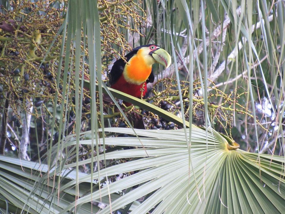 Tucano, Tropical, Nature, Bird, Brazil, Zoo