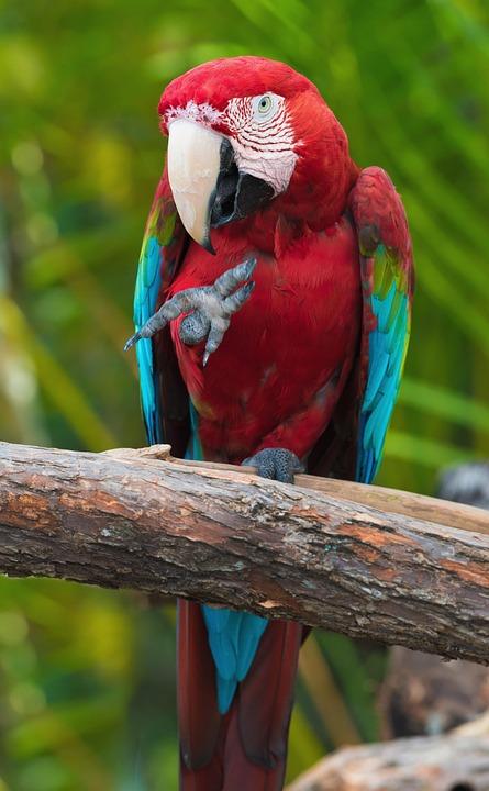 Parrot, Bird, Colors, Tropical, Animal, Beak, Domestic