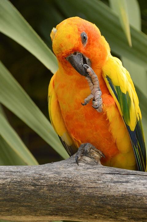Parrot, Sun Conure, Tropical, Parakeet, Feather
