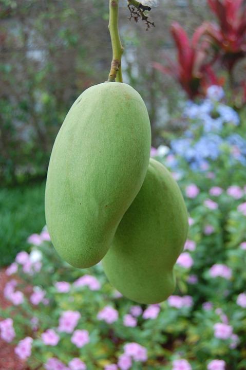 Mango, Nature, Fruit, Tropical, Green, Gardening