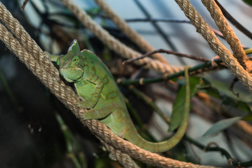 Chameleon, Lizard, Reptile, Green, Terrarium, Tropical
