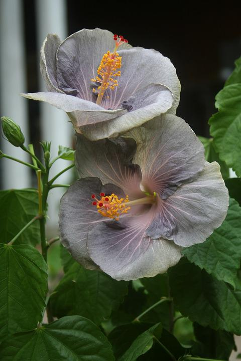Hibiscus, Flower, Tropical, Exotic Hibiscus