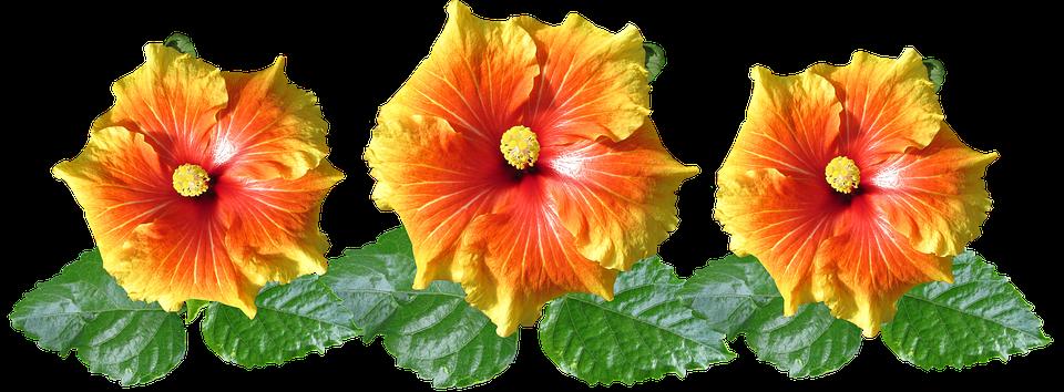Hibiscus, Flowers, Arrangement, Tropical, Garden