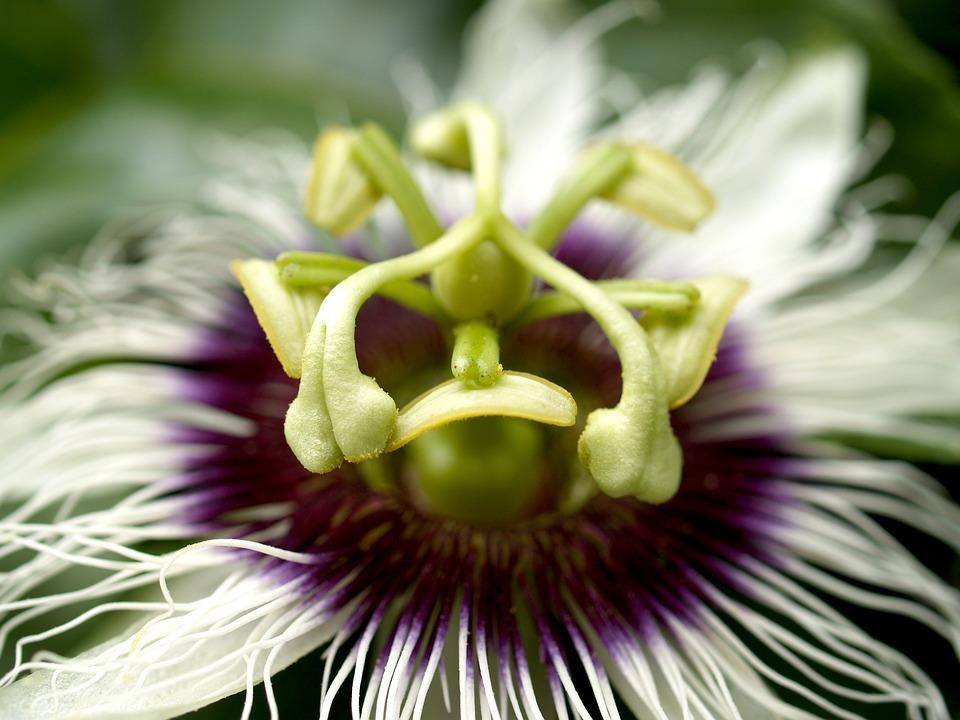 Passion, Flower, Fruit, Tropical, Green, Petal, Leaf