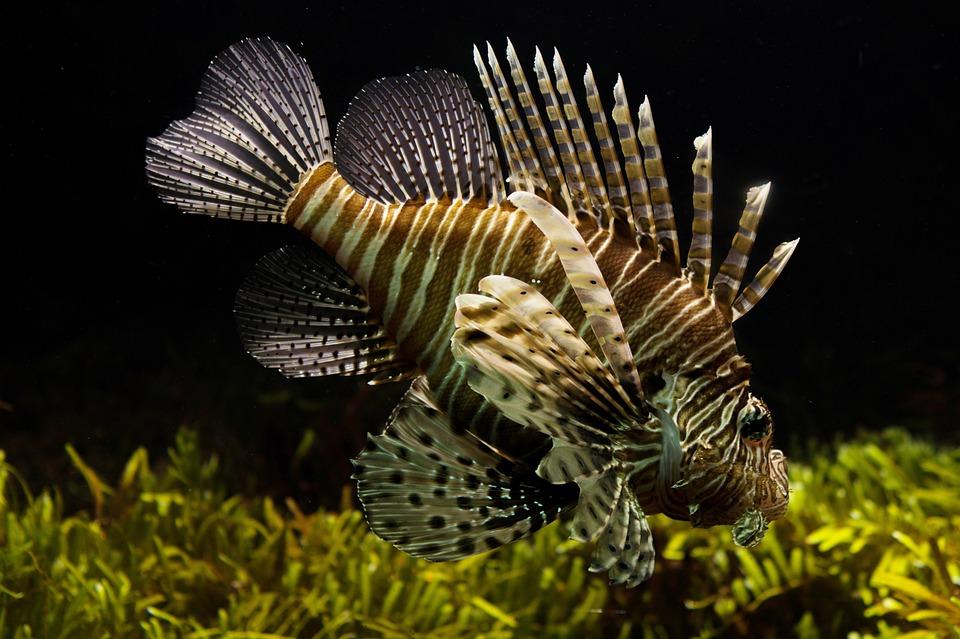 Lionfish, Aquarium, Sealife, Tropical, Underwater