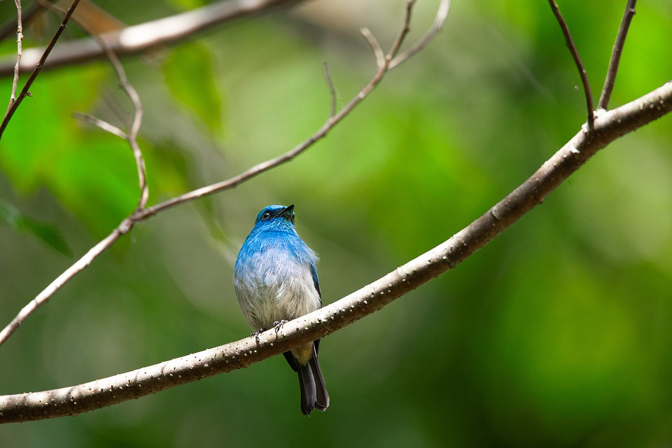 Free photo Tropical Little Bird Java Island Blue Bird - Max