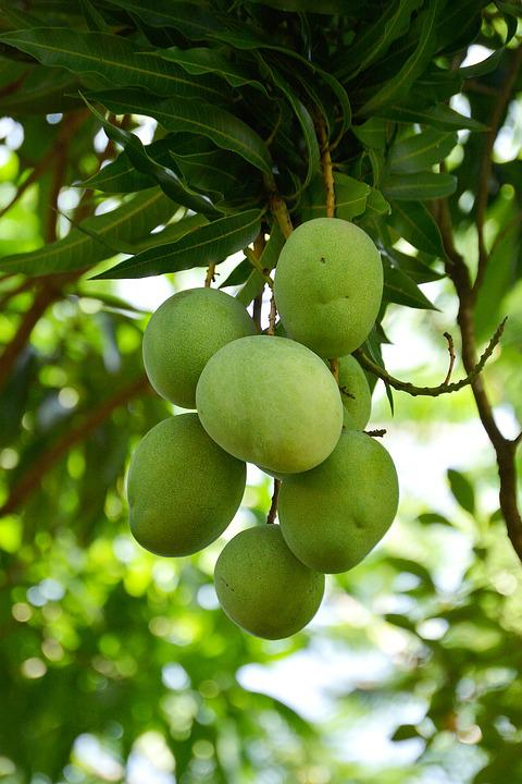 Mango, Fruit, Vegetable, Food, Tropical, Plant