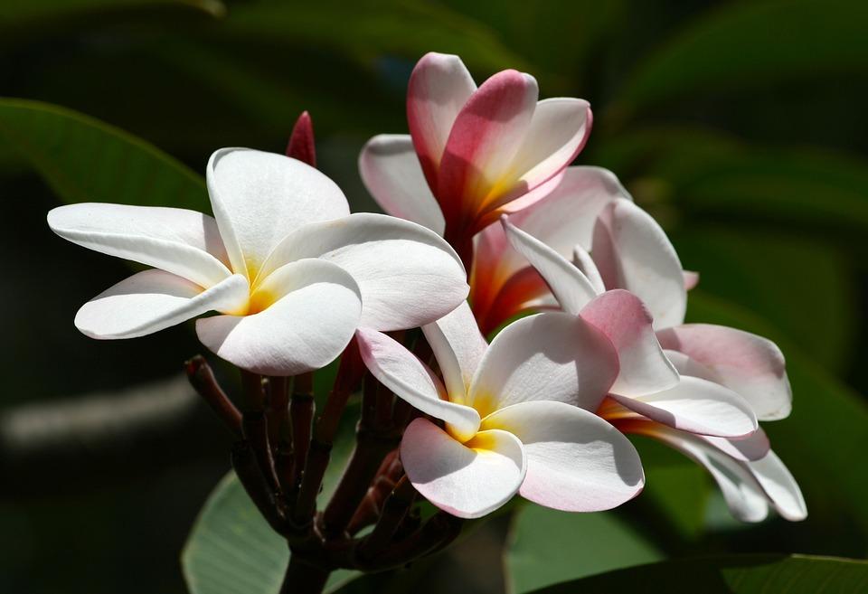 Free photo tropical nature hawaii plumeria white flower max pixel plumeria flower hawaii tropical nature white mightylinksfo