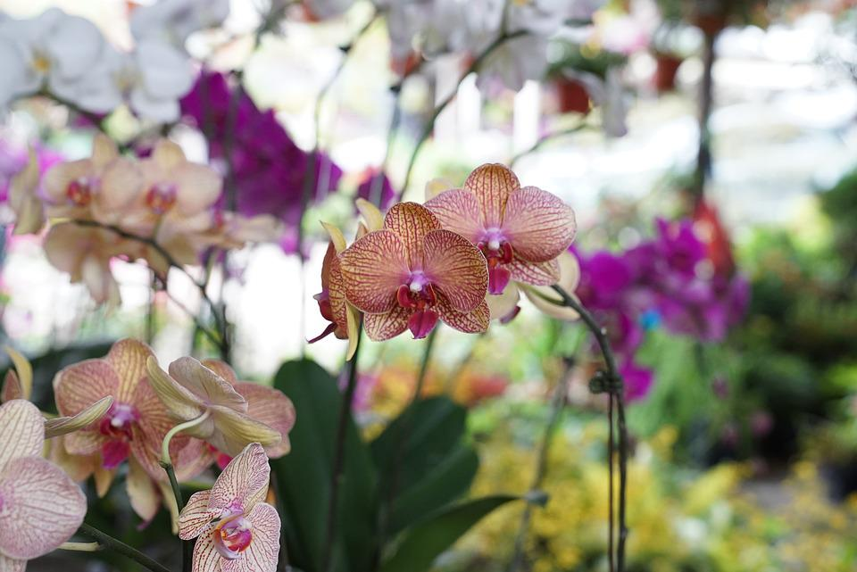 Orchids, Tropical, Floral, Exotic, Malaysia, Nature