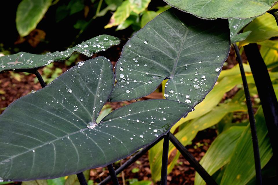 Elephant Ear, Plant, Leaf, Botanical, Nature, Tropical