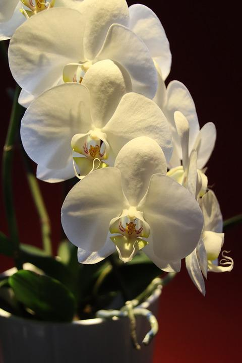 Free Photo Tropical Orchid Exotic White Flowers Phalaenopsis Max Pixel