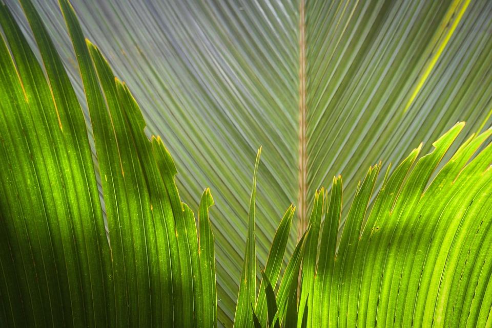Palm, Tree, Tropical, Jungle, Sunlight, Greenish, Leaf