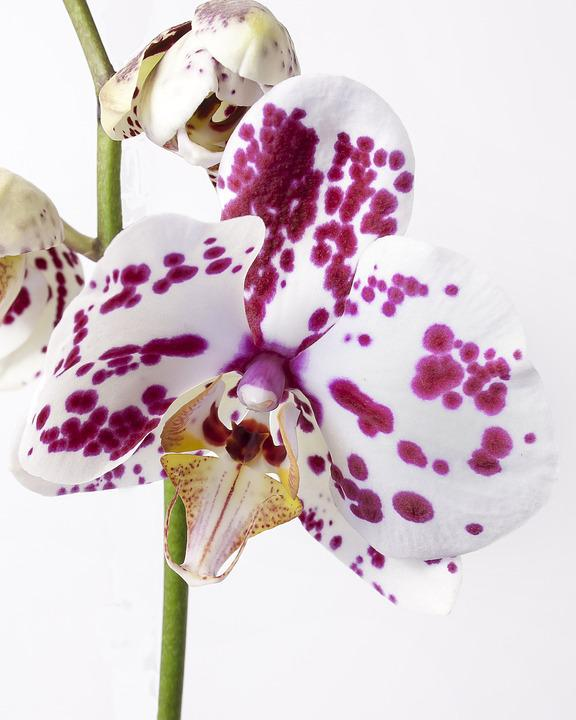 Phalaenopsis, Orchid, Phalaenopsis Orchid, Tropical