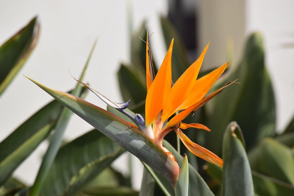 Bird Of Paradise, Plant, Fauna, Floral, Tropical