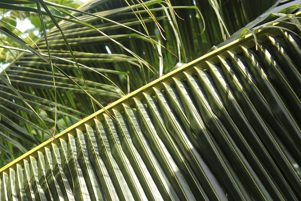 Palm, Leaves, Green, Frond, Tropical, Leaf, Plant