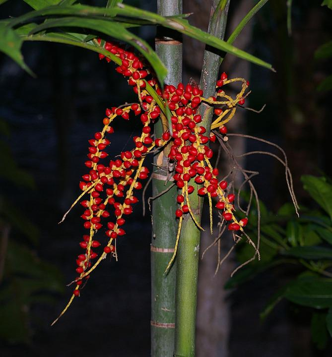 Seeds, Plant, Palm Tree, Palm, Tree, Tropical, Red
