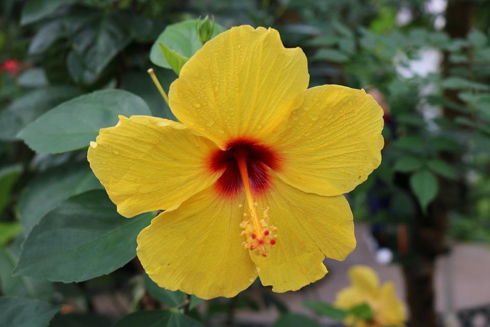 Free photo tropical red hibiscus orange flower yellow max pixel hibiscus red orange yellow flower tropical mightylinksfo
