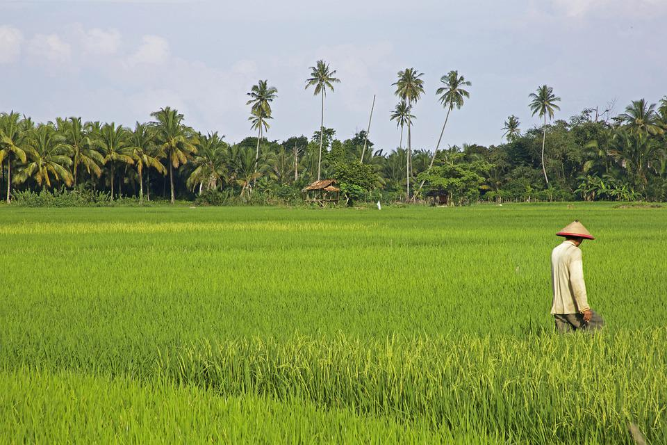 Tropical, Rice, The Rice Field, Plant, Field, Indonesia
